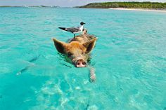 The Swimming Pigs are located on Major Cay island of Exuma, Bahamas. There are several companies that provide tours to The Swimming Pigs by boat Pig Beach Bahamas, Exuma Bahamas, Nassau, Pig Island, Island Life, Swimming Pigs, Swimming Nature, Phuket, Teacup Pigs