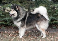 I want this dog so bad... Love Finnish Lapphunds