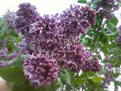 Sensation lilac (Syringa vulgaris 'Sensation') is a fast-growing shrub that bears spikes of single lavender flowers edged in white that shine from a distance. It grows 22 feet tall and wide. Zones 4-8