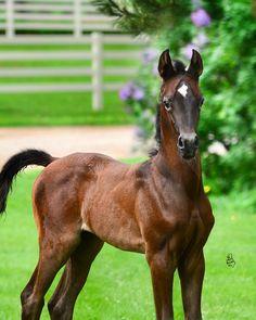 Maahrina :: Argent Farms LLC :: Distinctive Arabian Horses