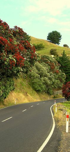 Coromandel West Coast of the North Island with flowering Pohutukawas - NZ