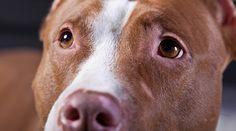 L'entêtement du maire Coderre à vouloir bannir les chiens de type Pitbull est d'autant plus surprenant alors que l'on apprend cette semaine que le SPVM n'a jamais confirmé la race du chien