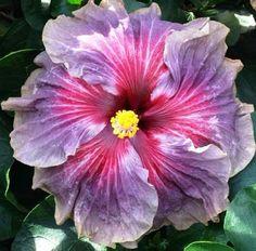 Hibiscus 'Delta Dawn' (Hibiscus rosa- sinensis hybrid)