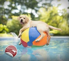 """Buy """"DUCKY"""" (Yellow Lab Puppy) Wall Art Photo, from $27.00 at the official Ron Schmidt Dog Photography site, Loose Leashes."""