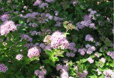 Keijuangervo. Korkeus: 70 cm. Kukkii heinäkuun alussa. Kasvupaikka aurinko–puolivarjo, kuiva–tuore, keskiravinteinen maa.
