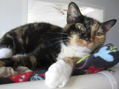 Holly is an adoptable Domestic Short Hair Cat in Indiana, PA. Hello, I'm Holly! I'm the queen of the Cleo Room at FFF! I like to sit on top of the kitty condo and sunbathe and eat! I am a very friendl...