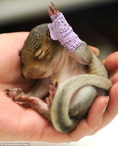 Baby squirrel hurt her leg when the tree branch she was sleeping in got cut down. Poor punkin. See more photos at: http://www.dailymail.co.uk/news/article-2111432/Hands-cute-Baby-squirrel-bandaged-falling-tree.html