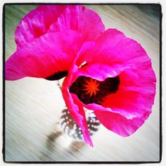 Cotwold Poppies the twins found in the paddock for me. Inspiration for our swimwear colours by Charlotte & Co., via Flickr