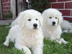Maremma Sheepdog, I want one. Pyrenees Puppies, Great Pyrenees Puppy, Baby Puppies, Dogs And Puppies, Pet Dogs, Dog Cat, Animals And Pets, Cute Animals, Maremma Sheepdog