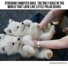 Syberian Samoyed
