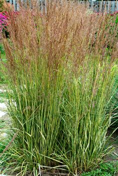 13 Terrific Tall Grasses Include vertical interest in your plantings with tall ornamental grasses. Ornamental Grass Landscape, Tall Ornamental Grasses, Drought Tolerant Landscape, Tall Grasses, Landscape Grasses, Boxwood Landscaping, Modern Landscaping, Front Yard Landscaping, Landscaping Ideas