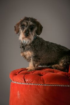 Sausage Tails, a blog about the sizzling tails of Jeffrey the Wirehaired Dachshund. Small dude, big personality...