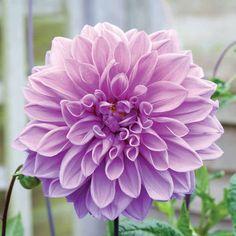 Dahlia 'Lavender Ruffles' - Dahlia Tubers