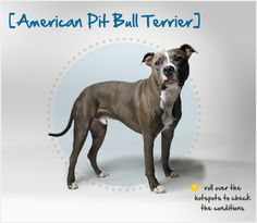 Did you know the American Pit Bull Terrier was  bred to combine the pluck of the terrier with the strength of the bulldog? Read more about this breed by visiting Petplan pet insurance's Condition Checker!