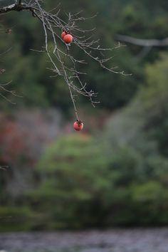 写真: 京都 龍安寺の柿の木です。 池のほとりに数本植えられていました。 京都と言うシュツエーションのせいか、「侘」「寂」を感じます。 #京都 #龍安寺 #柿 #わび さび #kyoto #Japan #canon