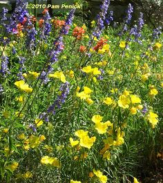 Sundrops, blue mealy sage, and Indian paintbrush