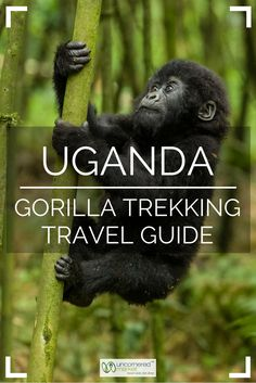 Everything you need to know before planning a gorilla trekking trip to Uganda. When to go, how to obtain a permit, what to pack, and what to expect during the trek itself. Travel in Africa. | Uncornered Market Travel Blog: Travel Wide, Live Deep
