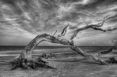 Title  Wind Bent Driftwood Black And White  Artist  Greg and Chrystal Mimbs  Medium  Photograph - Photograph