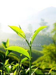 Close Up Fresh Tea Leaves Morning Sunlight Concept