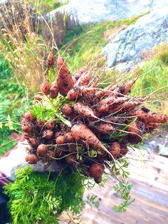 Hämmentäjä: Lokakuun töitä kasvimaalla ja puutarhassa. Porkkanoiden kasvatus. October in the garden. Growing carrots.