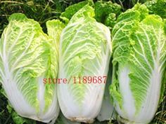 200pcs/bag Chinese cabbage seeds vegetable seeds natural organic vegetable plant for home garden easy to grow