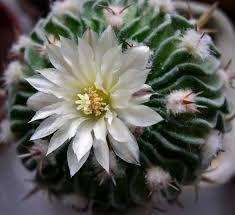 Картинки по запросу цветущие кактусы фото
