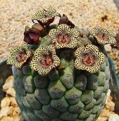 Blooming Succulents, Growing Succulents, Succulents In Containers, Cacti And Succulents, Planting Succulents, Planting Flowers, Cactus Planta, Cactus Y Suculentas, Unusual Plants