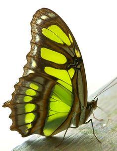 Green - Malachite butterfly (Siproeta stelenes meriodonalis)