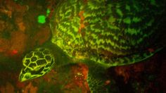 A marine biologist has discovered the first biofluorescent hawksbill sea turtle.