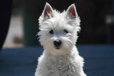 Best Dog Hair Grooming Clippers For A West Highland Terrier (Westie) West Highland Terrier, Animals And Pets, Cute Animals, Dog Clippers, Border Collie, Labrador, Sleeping Dogs, Pets, Pet Dogs