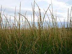 Slender wheatgrass seedheads.