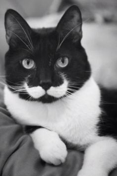 Tuxedo cats (I have two)  THE PURRFECT MUSTACHE