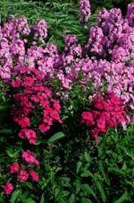 #sommar #höst Phlox paniculata 'Magnificiens'. Phlox blommar juli-sep/okt beroende på sort. Kan med fördel planteras framför tidiga blommare, typ orientaliska vallmon, lupiner, aklejor och löjtnantshjärtan för att täcka över deras nervissnande blad, eller framför ännu högre perenner såsom riddarsporrar. De kan också kombineras med rosor och andra buskar.