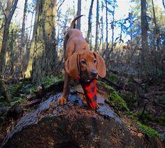 Is that you that I'm sniffing over here? #scenthound #redbonecoonhound #coonhound #trailmutt #adventuredog #explorebc #ruffwear #outwardhound #puppiesxdogs #lacyandpaws #sniffandbarkens #pawbox #pupbox #barkbox #nature #coonhoundsofinstagram #topdogphoto #dogsonadventures #dogsofinstagram by pennytheredbone
