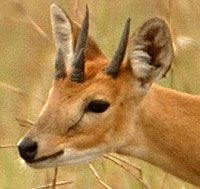 "The Four Horned Antelope - aka Chousingha. Found only in India and Nepal they are said to be ""rarer than tigers"" in the wild."