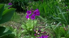 「クリンソウ」 ちょっとじめじめした場所が好きなやつ。 お花を咲かせるのは6月から8月ですが、 5月下旬の時点で咲いておりラッキーでした。 紫色の花が段を作るように、 下から次々と咲き誇るのが特徴です。 この姿が五重塔などの頂上にある柱の飾りの「九輪」に 似ていることが名前の由来です。 台温泉登山コースにて。
