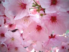 When flowers start to bloom and trees start to blossom, we know that nature has begun its first extravagant season of the year: spring (the second one being autumn). My Flower, Pretty In Pink, Beautiful Flowers, Cherry Flower, Cherry Tree, Pink Photography, Pink Images, Deco Floral, Spring Blossom