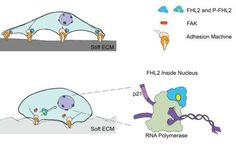 A moving story of FHL2 and forces  #biology #cellbiology #Extracellular #Extracellularmatrix #FHL2 #Health_Medical_Pharma #Inducedstemcells #matrix Check more at https://scifeeds.com/social-media-item/a-moving-story-of-fhl2-and-forces/