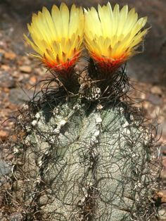 Astrophytum capricorne (Goat's-Horns Cactus, Bishop's-Hat, Bishop's-Cap) → Plant characteristics and more photos at: http://www.worldofsucculents.com/?p=1656