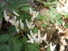 Dutchman's Breeches  Moraine View State Park 4-20-14