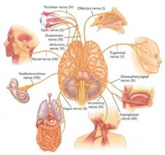 trochlear s fine trigeminal s pretty keen abducens nerve facial nerve . Vagus Nerve, Speech Language Pathology, Speech And Language, Neurological System, Limbic System, Endocrine System, Cranial Nerves Mnemonic, Facial Nerve, Physical Therapy