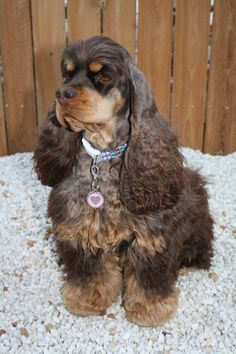 This one looks like the sire of my two dogs, Bentley & Boots. Such a serious looking American Cocker Spaniel! I wonder what she's thinking about! Black Cocker Spaniel, American Cocker Spaniel, Cocker Spaniel Puppies, English Cocker Spaniel, Cute Puppies, Cute Dogs, Dogs And Puppies, Doggies, Puppy Pictures