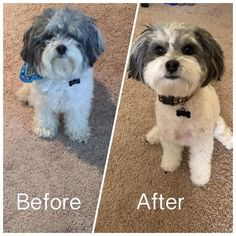 Pets can be used (pet dogs, pet cats, rabbits) Low noise pet hair clipper set keeps your pets always looking good, it's very useful both in home and professi Animals And Pets, Baby Animals, Cute Animals, Cute Puppies, Dogs And Puppies, Pekingese Puppies, Maltese Poodle, Havanese Dogs, Dog Clippers