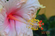 a pastel pink hibiscus