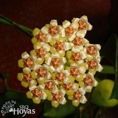 Hoya bicknellii Cutting [IML 1597] - $16.00 : Buy Hoya Plants and Hoya Cuttings Today!