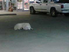 **HELP**ANYONE LIVE NEAR DALLAS-FORT WORTH, AREA?   There is a Great Pyrenees that has been hanging out at a convenience store in Palmer Texas, which is about 15 minutes south of I-20 on I-45. I believe that he was dumped off. I am counting on you guys to spread the word to the local rescues down there. I don't have any Texas connections. I know a lot of you guys have at the very least volunteered with some local groups. I am hoping someone can go get him before something happens to him