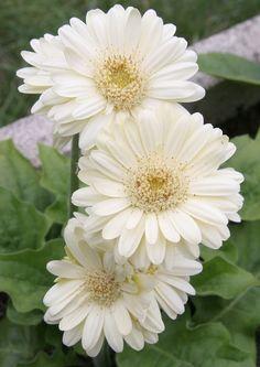 Гербера (50 фото цветов): виды и правила ухода http://happymodern.ru/gerbera-42-foto-cvetov-vidy-i-pravila-uxoda/ Нежнейший цветок кремового цвета