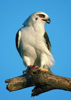 Black-shouldered Kite, Elanus axilarus