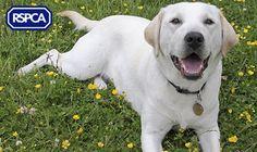 Labrador Retriever lying in the grass