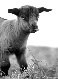 CWF Bunnie, the funny 'fainting' goat